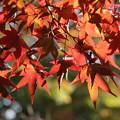 Photos: 早い紅葉・・諏訪神社