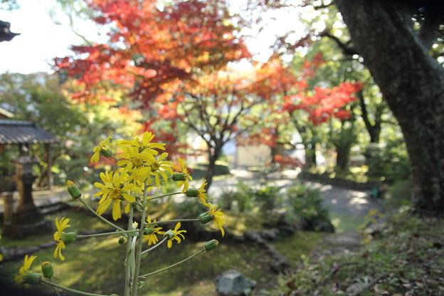 ツワブキ・・諏訪神社