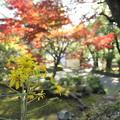 Photos: ツワブキ・・諏訪神社