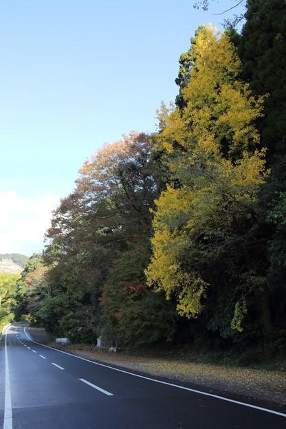 イチョウの黄葉・・人吉水俣線(久木野への途中)