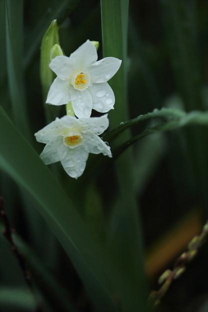 水仙が咲きだす・・遊歩道