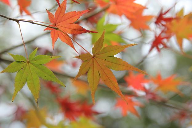 紅葉・・諏訪神社ここもまばらに