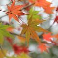 Photos: 紅葉・・諏訪神社ここもまばらに