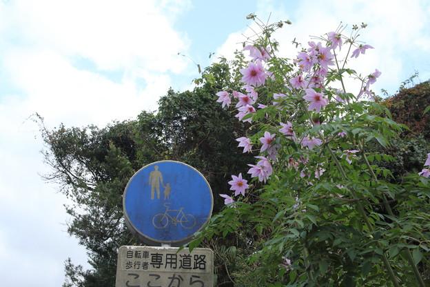 皇帝ダリア・・遊歩道
