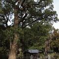 Photos: 御神木・・陣内阿蘇神社