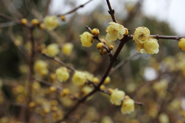 蝋梅満開へ・・竹林園