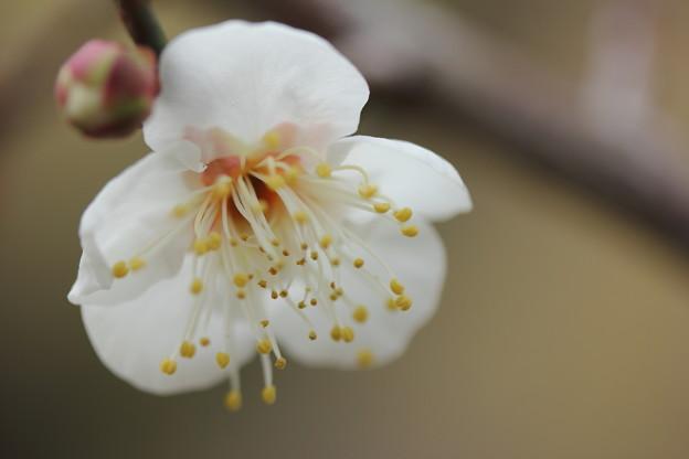 Photos: ほんの数輪咲いてる・・古城梅林園