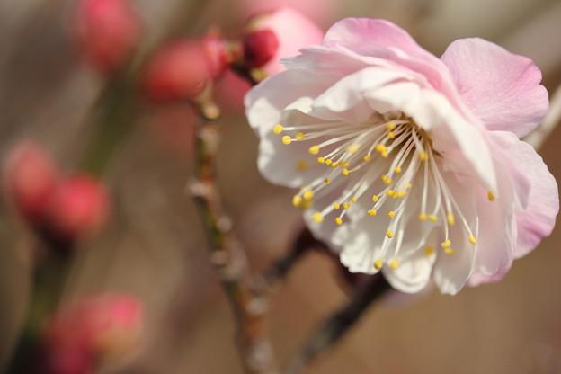 Photos: 近所の庭先の梅