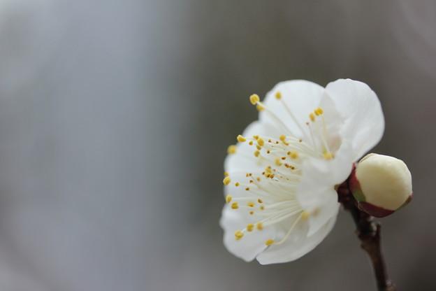 梅が咲きだす・・古城梅林園