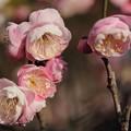 梅、春近し!