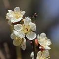 竹林園の梅が咲きだす