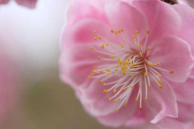 優しい色の梅・・竹林園