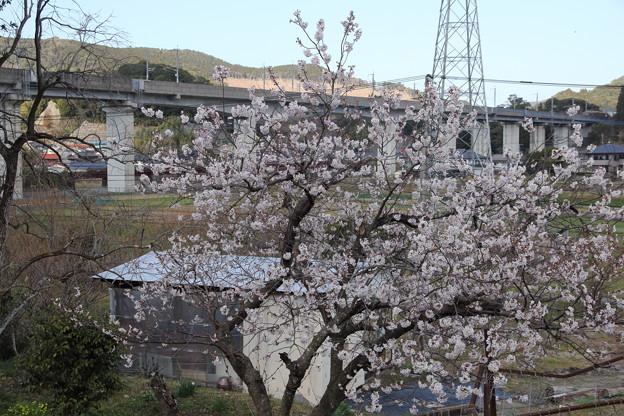 早い桜(何桜?)・・遊歩道