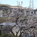 Photos: 早い桜(何桜?)・・遊歩道