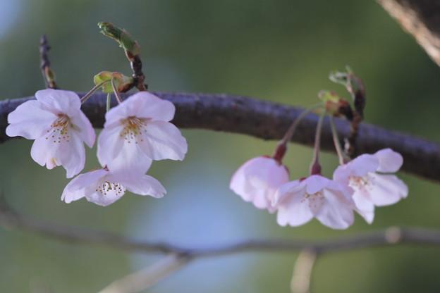 かわいいね、桜