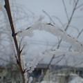 写真: 雪の花