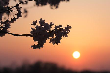 太陽と夕桜