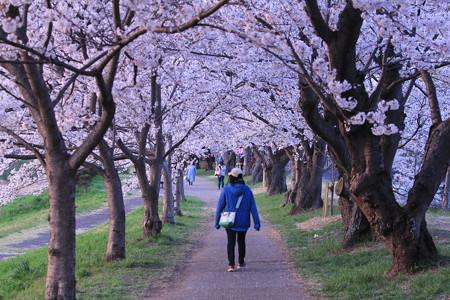 夜桜のトンネル