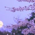 月の出と桜