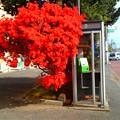 写真: ツツジ電話ボックス