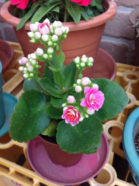 八重咲カランコエ