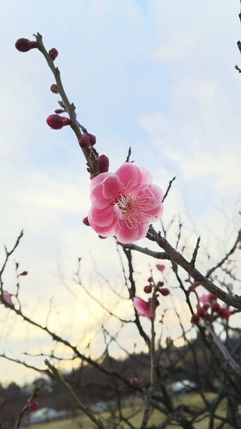 梅が咲いた!