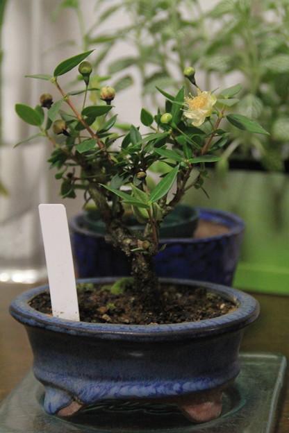 ミニ盆栽に花が咲く