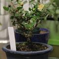 Photos: ミニ盆栽に花が咲く