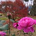 Photos: 通り雨に咲く