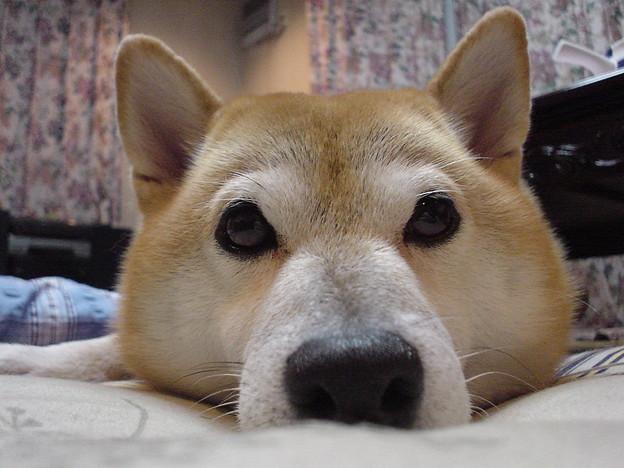 柴犬のお鼻自慢
