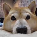 Photos: 柴犬のお鼻自慢
