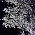 旧中学校の桜