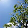 Photos: 皐月の空をハナミズキ