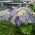 Photos: 気が付けば紫陽花