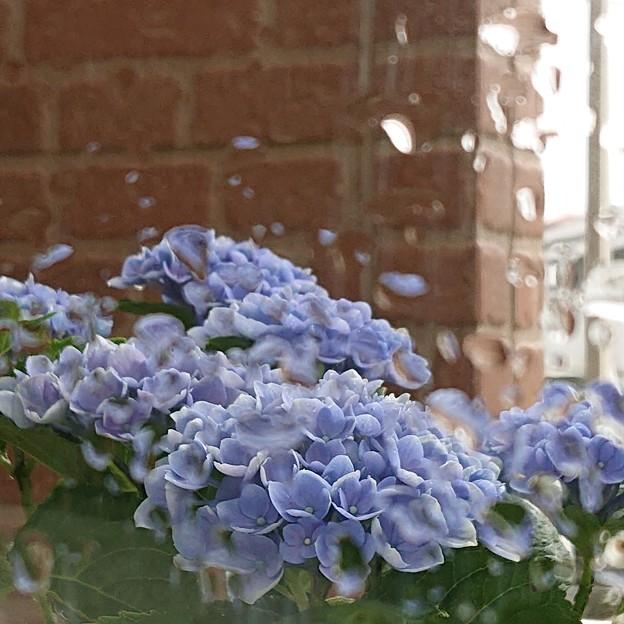 雨粒の窓に紫陽花
