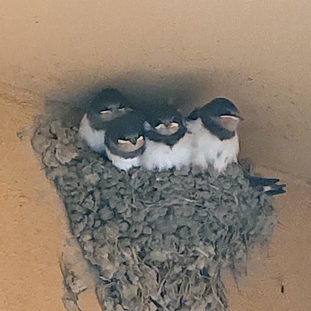 Photos: ツバメの巣の中もソーシャルディスタンスは無理