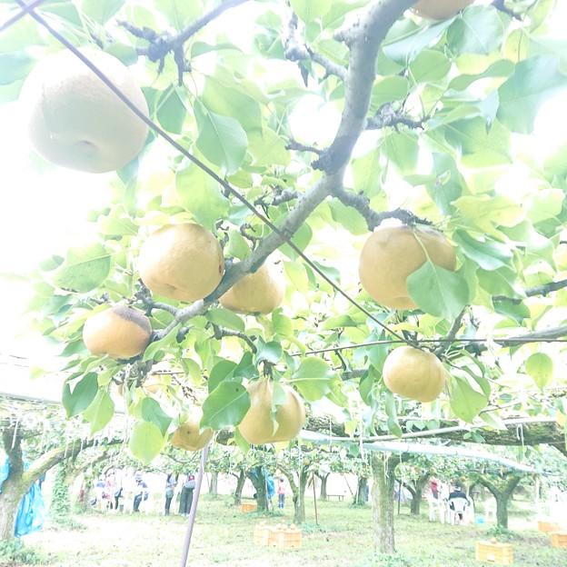 Photos: 美味しそうな梨じゃ