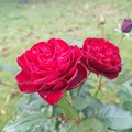Photos: 10月の薔薇は赤。