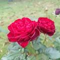 10月の薔薇は赤。