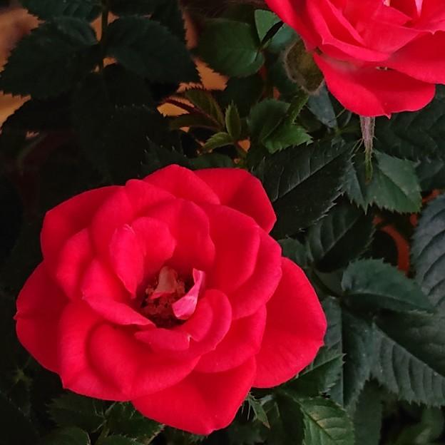 薔薇は薔薇は