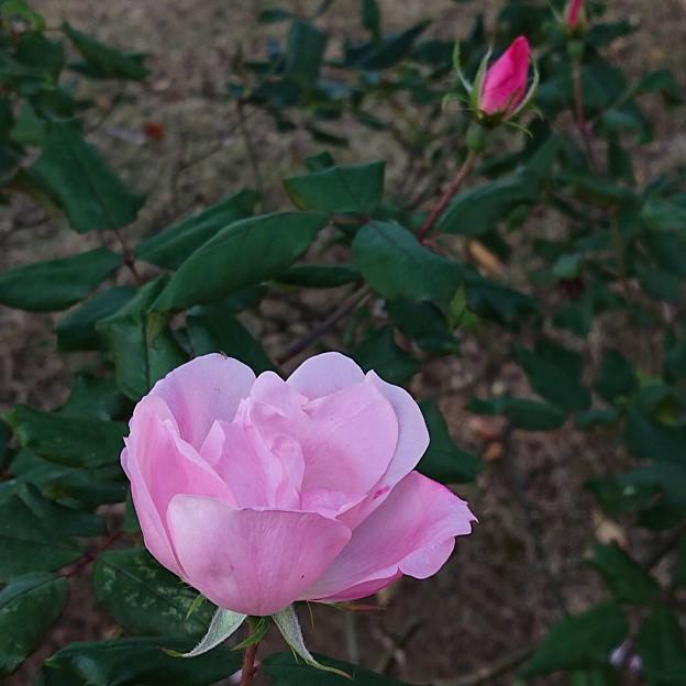 11月の薔薇はピンク。
