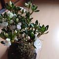 Photos: くるめちゃん咲いてます