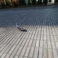 Photos: 昼鳩