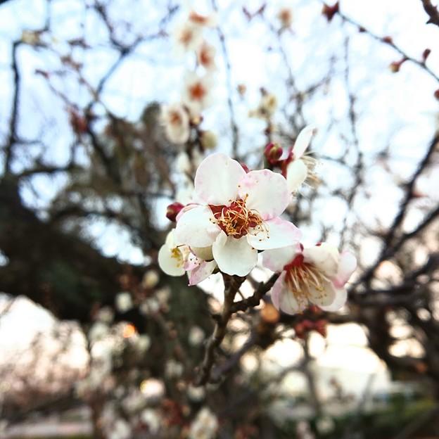 白梅が咲いた。春の気配