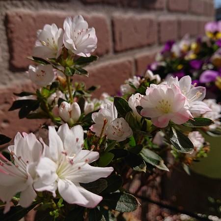 たくさん咲きますクルメツツジ