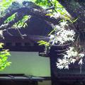 写真: 老木の白露