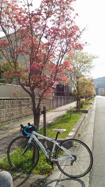 Photos: 花水木