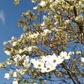 写真: 花水木。