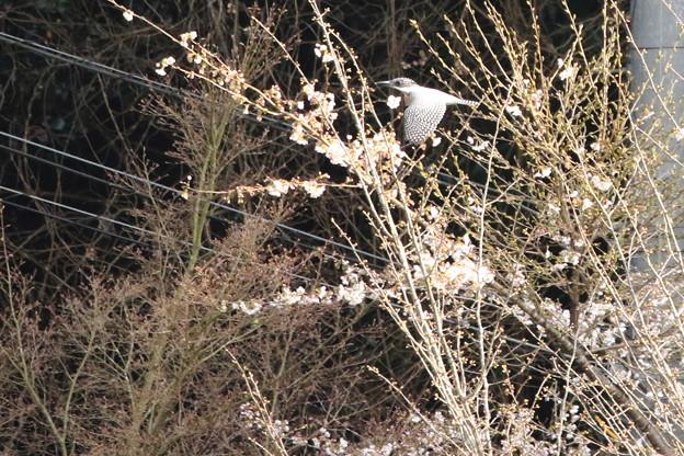 C41A0649 (2)桜ヤマセミ