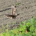飛ぶヒバリ